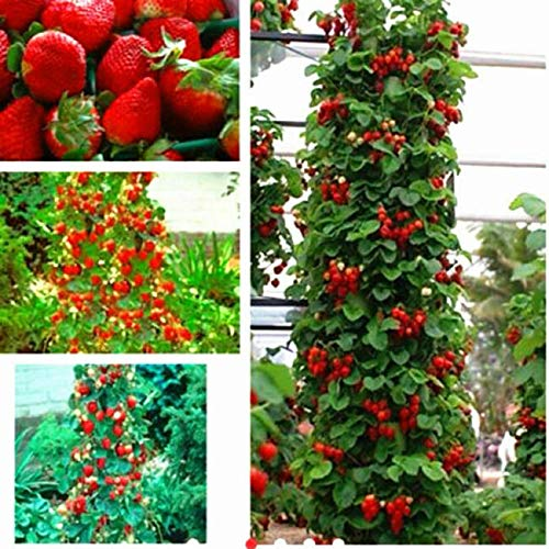 100Pcs Red Strawberry Seeds Climbing Home Garden Fruit Plant Fast - Ship from US by US Seller.