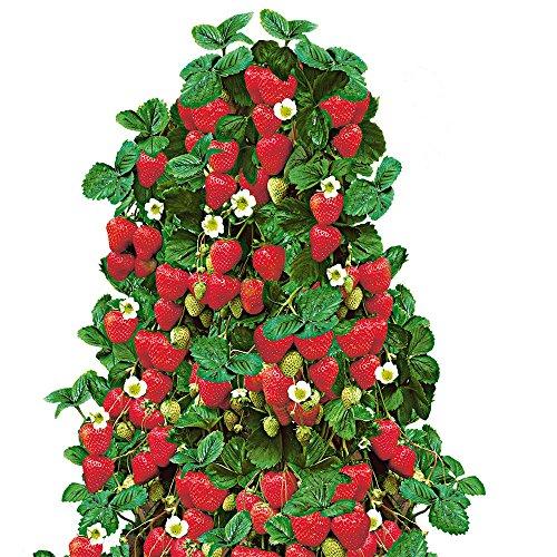 Qulista Samenhaus - Rarität Klettererdbeere reichtragend aromatisch Kübelpflanze dekorativ exotisch Obstsamen winterhart mehrjährig an Zäunen, Pfählen usw. im Hochsommer