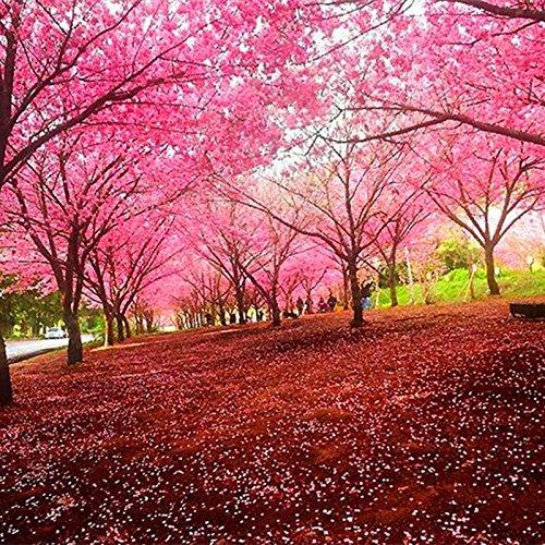 20pcs/bag Sakura Samen Brunnen weinend Kirschbaum Samen Dwarf japanische Blüten Bonsai Blume für DIY Hausgarten Pflanze 01
