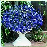 Rare Flower Plant Seeds 1000+ Lobelia Seeds - Sapphire (Blue Basket)