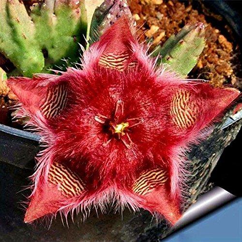 Inovey 100Pcs/Pack Stapelia Pulchella Seeds Colorful Cactus Lithops Bonsai Garden Courtyard Plants - 1