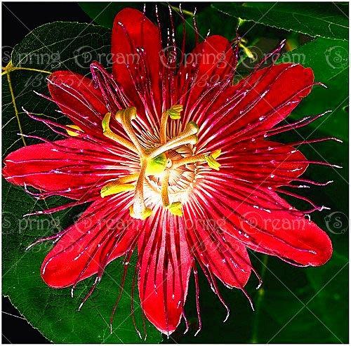 5pcs Passiflore (Passiflora incarnata), plantes Passion fruits exotiques Graines grenadille pour le jardin à la maison 6