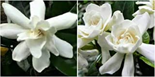 Best gardenia taitensis seeds Reviews