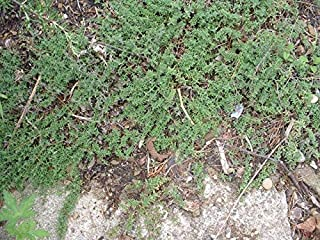 Best creeping thyme pot Reviews