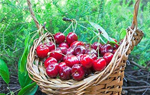 Multi Color Cerise Fruit Graines De Fleurs vivaces Jardin Plantes en pot Heirloom fruit délicieux croissance naturelle 10 particules 14