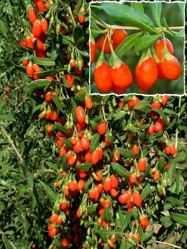 Goji-Beere. 1 Pflanze