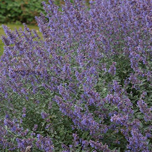 Blumixx Stauden Nepeta x faassenii 'Six Hills Giant' - Katzenminze, im 0,5 Liter Topf, violettblau blühend