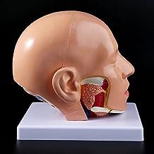 XIOFYA 1 st mänsklig anatomi huvud skalle hjärna cerebral artär anatomisk modell för undervisning