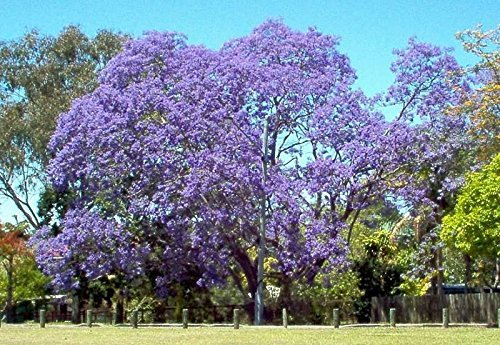 jacaranda, flamboyant bleu, arbre de fleurs bleues, 10 graines! Groco,