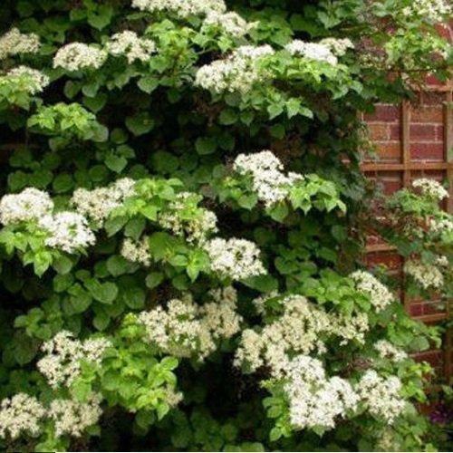 Kletterhortensie (Hydrangea anomala Petiolaris/Hortensie) Kletterpflanze - Weiß, Mehrjährig & Winterhart - Hortensien - 2 Liter Topf | ClematisOnline Kletterpflanzen
