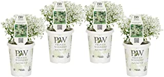 Proven Winners EUPPRW1107524 Diamond Snow Live Plants, 4 Pack, 4.25 in. Grande, White Flowers