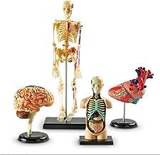 Anatomical Model Set, Brain, Body, Heart, Bones, Classroom Display Tools