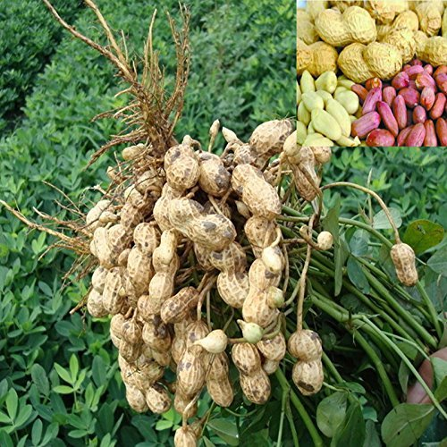 10 graines / paquet, chinois 4 pièces d'arachide Graines dans un Shell, Peau Rouge Heirloom arachide, le taux de germination Rare organique