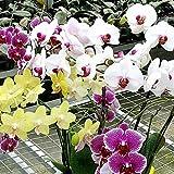 Dyyicun12-10 semillas de flores de Phalaenopsis de colores variados