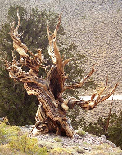 10 Bristlecone Pine, Pinus aristata, Tree Seeds (Hardy Evergreen, Bonsai) Tree Seeds WL TSP-RR