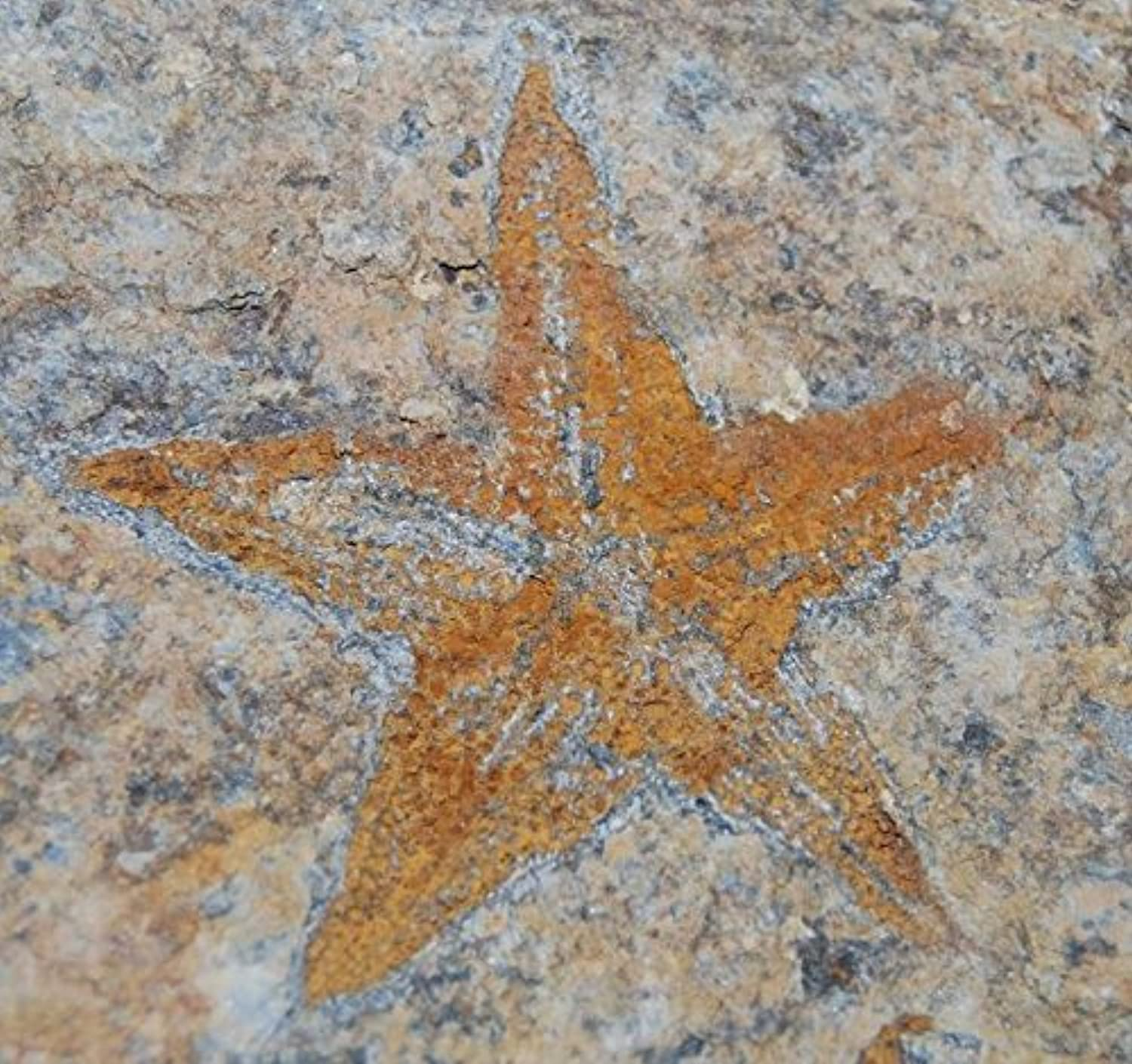 Starfish Fossil Ordovician 450 Million Years Ago Mgoldcco  13431 3 3o