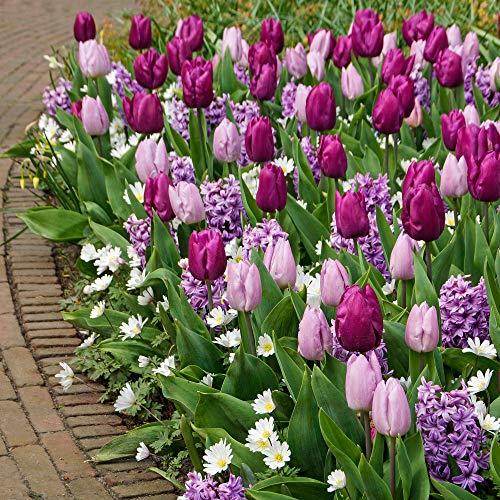 50x Blumenzwiebel Mix | Blüte Lila und Weiß | Tulpen, Hyazinthen, Balkan-Windröschen | Blumenzwiebeln mehrjährig winterhart