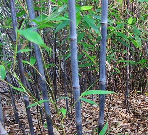 50pcs/sac plantes de bambou bleu, les graines de bambou, graines de bambou Moso, Phyllostachys plante souches nature, bricolage pour Plum maison et jardin