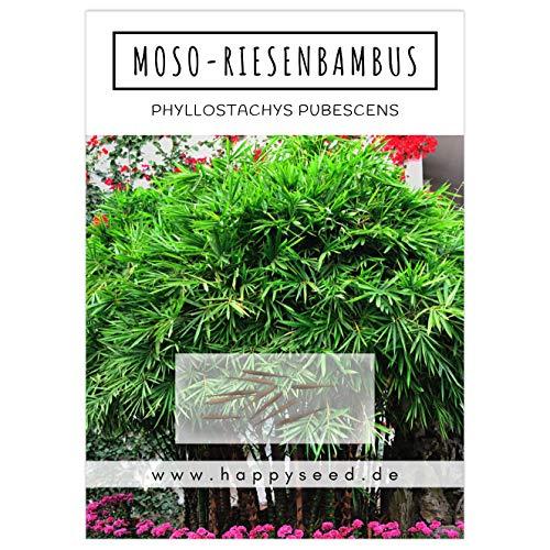 Bambus Samen mit hoher Keimrate - Bambussamen schnellwachsend & winterhart ideal als dekorativer Sichtschutz (Moso Riesenbambus)