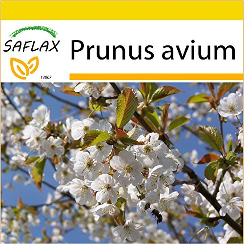 SAFLAX - Kit de culture - Cerisier des oiseaux - 10 graines - Prunus avium