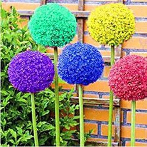 30pcs/sac géant oignon (Allium giganteum) graine rare bonsaï belle fleur plantes en pot de fleurs jardin Livraison gratuite rouge