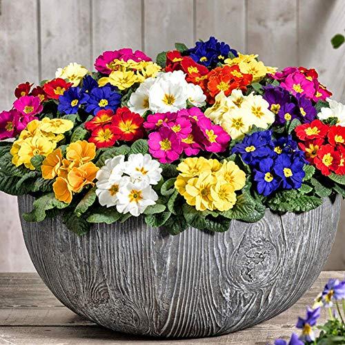 Semi di fiori di Primula Europa 20pcs Semi di primula da sera vistosi organici colori misti per giardino domestico Piantagione di cortile all'aperto