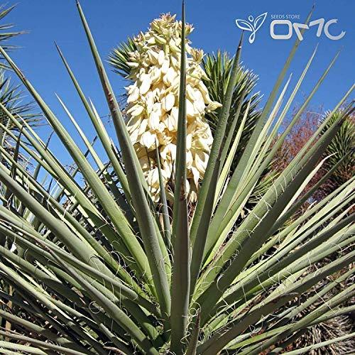 PLAT FIRM (10 Samen) Yucca Baccata/Blue Banana Yucca/Banana Yucca, Anih-Bayonet