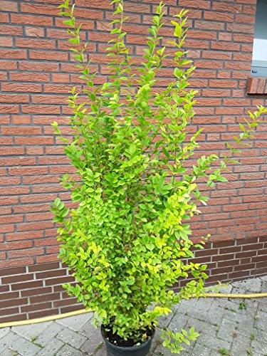 Goldliguster Ligustrum ovalifolium Aureum Solitär 150-175 cm hoch im 15 Liter Pflanzcontainer