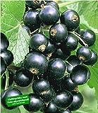 BALDUR Garten Johannisbeeren 'Schwarze Titania', 1 Strauch, Ribes nigrum Johannisbeerstrauch Beerenobst winterhart