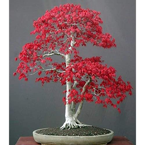 semillas de Bonsai: Amazon.es
