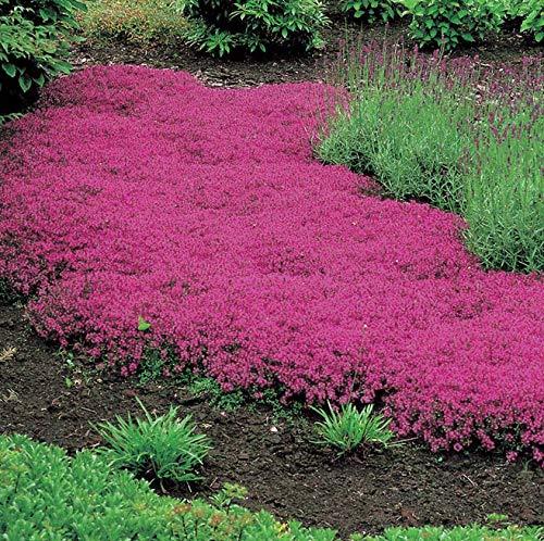 PLAT FIRM GERMINATIONSAMEN: PINK kriechend THYME Thymus serpyllum Bodendecker - 1000 Bulk-Blumensamen