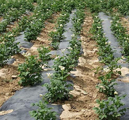 seedsown . 100pcs Gigante y Semillas Patata Violeta Antiarrugas Nutrición Vegetal Verde para jardín Plantar Raras Plantas de Papa Jardín: 9