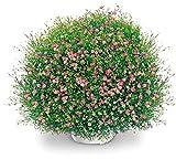 Charm4you Flores Semillas Planta Bonsai,Balcón jardín Floral semilla-Mix Color 100 cápsulas,Jardín Ornamental balcón