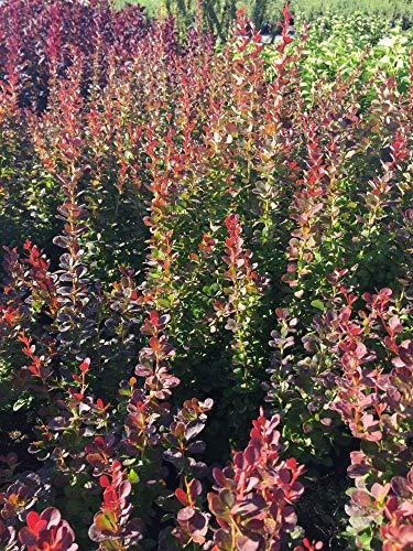Späth Berberitze 'Red Pillar' Zierstrauch immergrün Heckenpflanze Bienen 1 Pflanze Container C 7,5