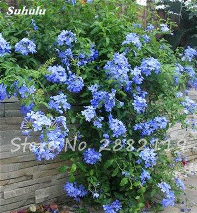 Belle Bonsai Blanc Saxifraga « Neige de printemps » Graines de fleurs vivaces De jardin les plus populaires Nature Plantes à effet de serre 120 Pcs 2