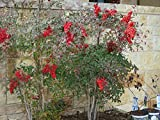 Live Plant 6-9 Inch Domestic Nandina Heavenly Bamboo Tree Plant Outdoor BV62-NR