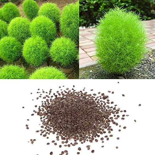 100 Stück Seltene Kochia Scoparia Grassamen Wunderschöne Und Schnell Wachsende Exotische Winterharte Pflanze