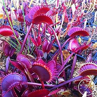 10 Mejor Dionaea Muscipula Red Line de 2020 – Mejor valorados y revisados