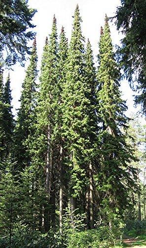 Serbische Fichte -Picea omorika- 25 Samen
