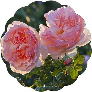 Stargazer Perennials Princesse Charlene de Monaco Rose Plant - Very Fragrant Pink 100+ Petal Own Root Potted
