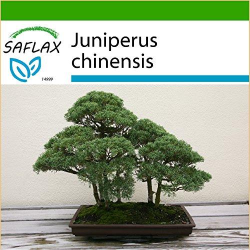 SAFLAX - Bonsai - Chinesischer Wacholder - 30 Samen - Mit keimfreiem Anzuchtsubstrat - Juniperus chinensis