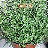 perennes Plantas Semillas,Semilla de Maceta Invertida Flor de Planta Flor de mar semillas-500g_Rosemary,Balcón Primavera Flores