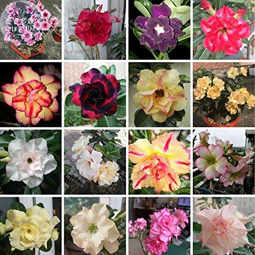Bellfarm Mixed16 Types Bonsai Adenium Plant * Graines (pas de sol), 30pcs/paquet, doubles pétales bi-couleur désert mixte purement couleur rose