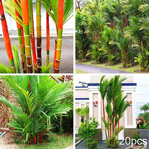 TankMR Farm Seeds Home Decor 20 Stück Cyrtostachys Renda Baumsamen Bonsai-Topf Pflanze Haus Hof Garten Dekoration für Garten Balkon Terrasse