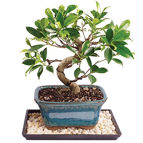 Brussel's Live Golden Gate Ficus Indoor Bonsai Tree - 5 Years Old; 6' to 10' Tall with Decorative Container, Humidity Tray & Deco Rock