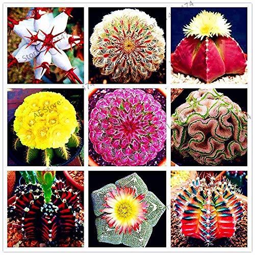 Portal Cool 4: 200Pcs Mixed Astrophytum Kakteensamen Bonsai Topfpflanze Hausgarten-Dekor