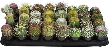 """Altman Plants Assorted Live Cactus mini cacti bulk for planters, 2.5"""", 32 Pack"""