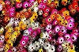 fiori a forma di margherita, Da aprile a ottobre si coprono di fiori color porpora-fucsia In Italia è molto diffusa, in particlare al Sud; essendo resisitente ed a crescita veloce è usata per abbellire terrazzi e giardini, o per ricoprire muri, alti ...
