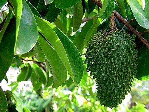 Stachelannone Annona muricata Pflanze 5-10cm Graviola Sauersack Soursop Rarität