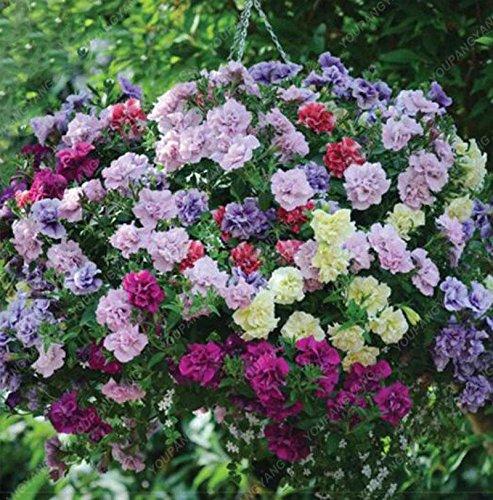 200 Graines Petunia Hanging rares semences de plantes ornementales Graines de fleurs Black Eye fleur pourpre avec bord blanc jardin Plantes noir